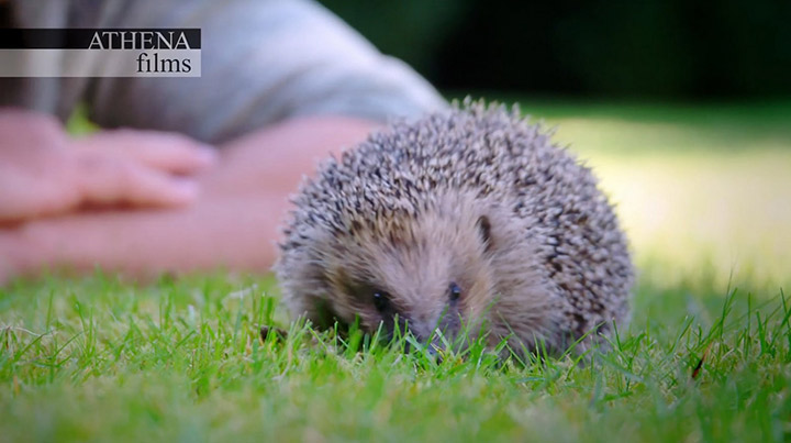 meet-the-hedgehogs-channel-5-2017-presented-by-steve-backshall-athena-films